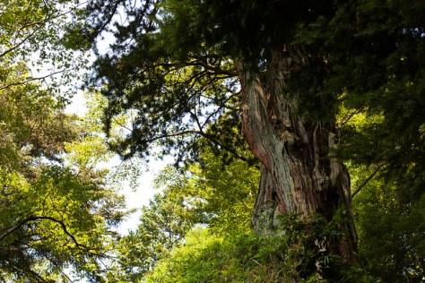 The Giant Trees of Tochigi: #80 The Giant Umbrella Pine of Nasu Town