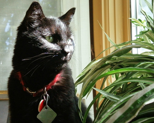 Black cat looks out bay window over spider plant