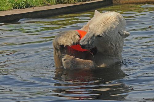Eisbär Henk im Dierenrijk Mierlo bei Eindhoven