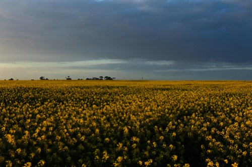 Clouds on canola