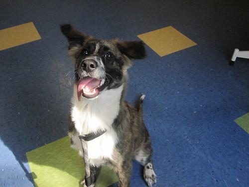 Shep/Collie Puppy- kennel P1