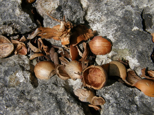 Halved hazelnut shells.