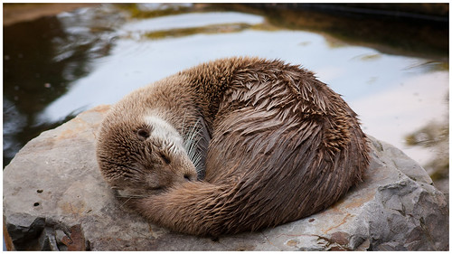 Sleeping Marlene the otter. She is a damp brown river otter, curled up adorably on a roundish smooth rock. Still brownish water is visible in the background.