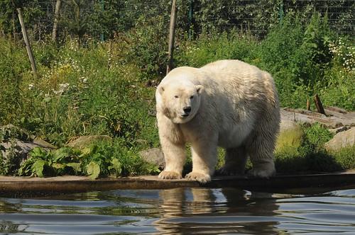 Eisbär Beja im Dierenrijk Mierlo bei Eindhoven