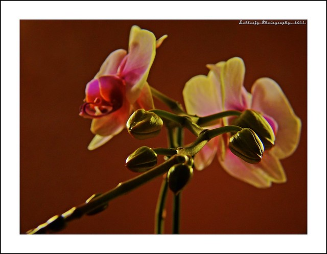#255/365 Orchid