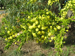 Acacia paradoxa (Hedge Wattle)