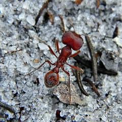 Florida Harvester Ant-Major Worker