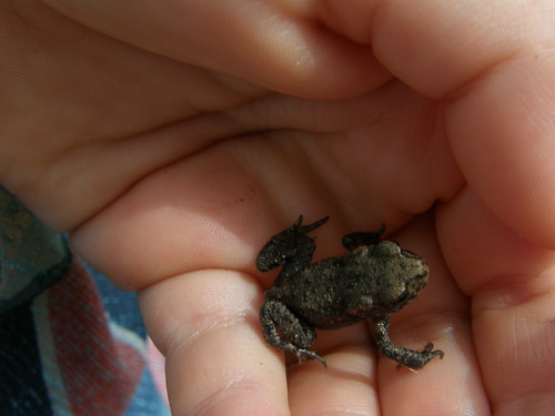 Small toad again