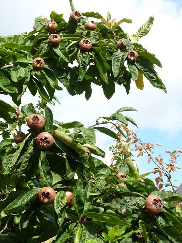 The medlar tree