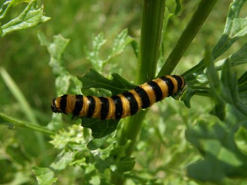 Another cinnabar caterpillar