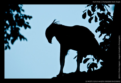 Hurt Pride | Changeable Hawk Eagle