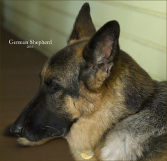 German Shepherd -- 2011