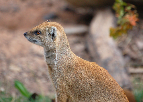 Yellow Mongoose by Alastair Montgomery