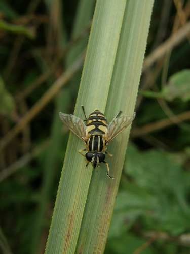 Hoverfly - helophilus pendulus, probably