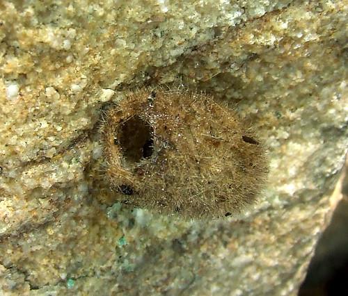 tussock moth cocoon