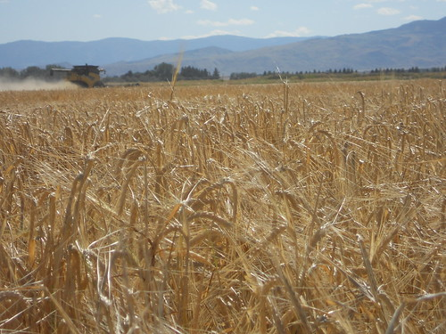 Barley with mountains