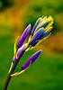Camassia buds by lkung409