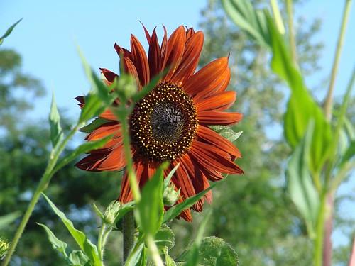 SunflowerRed