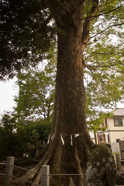 The Giant Trees of Tochigi: #83 The Giant Zelkova of Kitamukada
