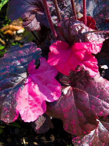 Joyful heuchera foliage