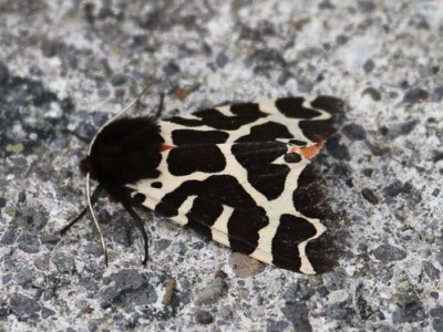 Garden Tiger Moth (Arctia caja) 01 by Mike at Sea
