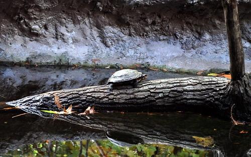 NC Zoo - Turtle