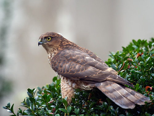 Sparrowhawk female_1