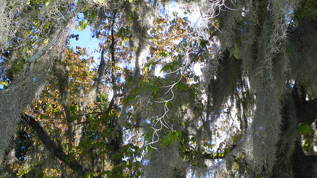 Spanish Moss and old Dogwood