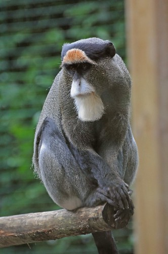 Brazza-Meerkatze Batak im Parc zoologique de Champrepus