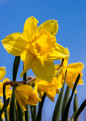 Daffodil - happy flower