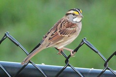Zonotrichia albicollis (White-throated Sparrow)