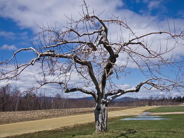 20110417_AppleTrees