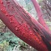 Close up of the beautiful red peeling manzanita bark