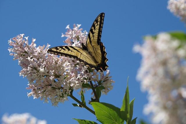 20080611-Butterfly