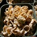 Conophytum ectypum ssp. ectypum