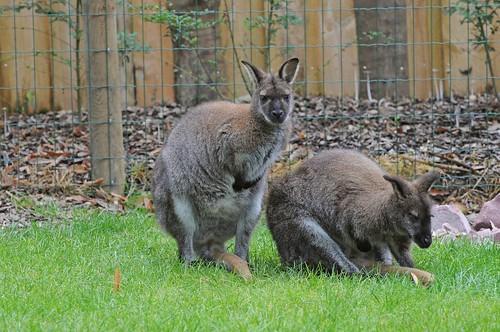 Bennett-Kängurus im Parc zoologique de Champrepus