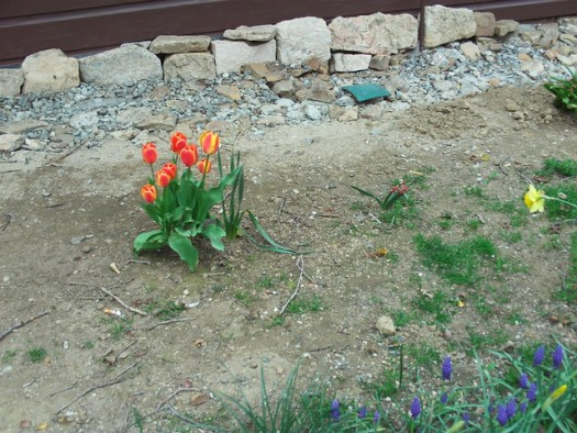 The Red And Orange Tulips