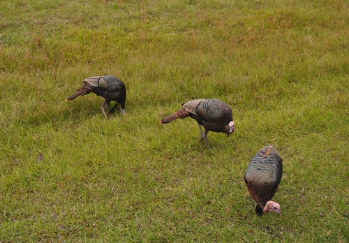 Osceola Turkeys Seen Along Babock Wilderness Adventures Tour, Punta Gorda, Fla.