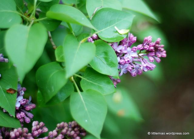 lilacs 5-21-2011 3-53-31 PM