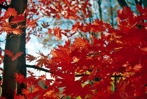 Red maple leaves in Arboretum