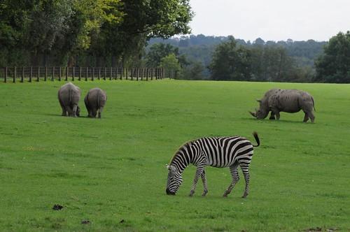 Böhm-Steppenzebra und Breitmaulnashörner  im Tierpark CERZA bei Lisieux in der Normandie