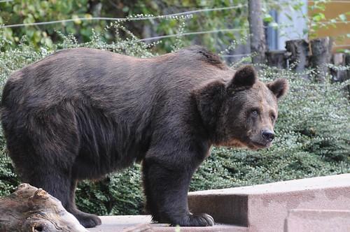 Braunbärin Gilberte im Parc zoologique et botanique de Mulhouse
