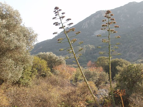 201111120044_giant-aloes