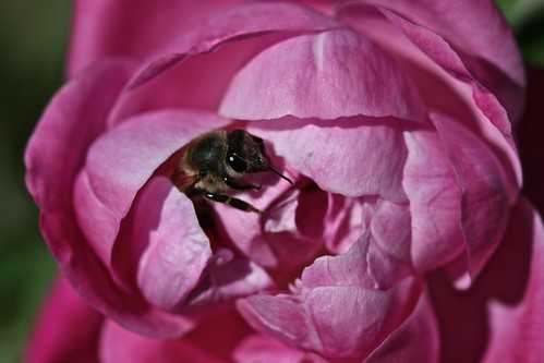 Adorable Bee on Rose