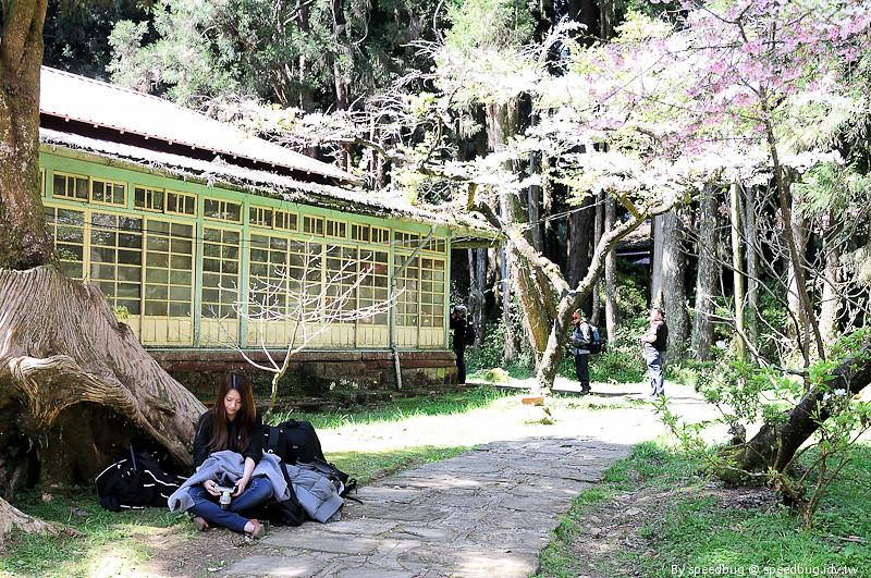 阿里山櫻花104