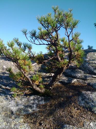 Rugged Pine