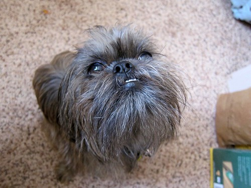 Photo of a small dog's face, shot from above. All you can see is her hairy, furry face, with big dark eyes and an underbite.