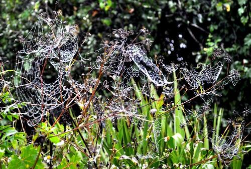 Jeweled Spider Webs at Tippecanoe Environmental Park Following Rain Storm, Port Charlotte, Fla.