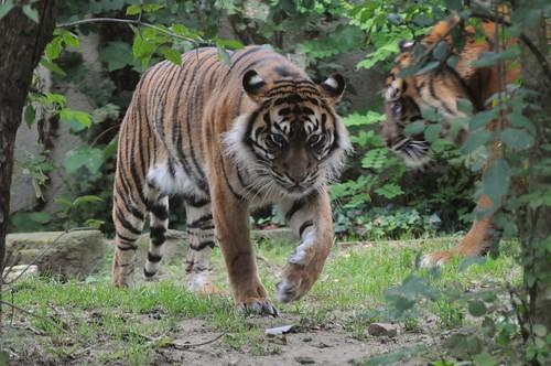 Sumatra-Tiger Chandra und Boris im Parc zoologique de Champrepus