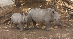 White Rhinoceros mother and calf, Mkuze game r...